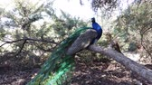 páva : Peacock sitting on a branch