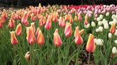 tulipan : 4K Video of Beautiful Tulips blossom with water drops