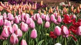 тюльпаны : 4K Video of Beautiful Tulips blossom with water drops