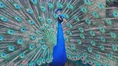 kaliforniya : Male peacock at Los Angeles, California Stok Video