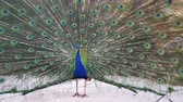 páva : Male peacock at Los Angeles, California Stock mozgókép
