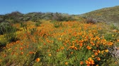 tipy : 4K Video of lots of wild flower blossom at Diamond Valley Lake, California Dostupné videozáznamy