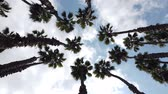 yukarıya bakıyor : Looking up the palm tree with blue sky, photo took at Los Angeles Stok Video