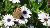 kozmopolita : Painted lady eating in the white Osteospermum flower at Los Angeles, California Stock mozgókép