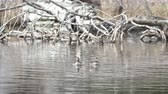 arcadia : Couple Hooded Merganser swimming in a lake at Los Angeles, California
