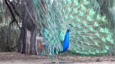 tavuskuşu : Male peacock at Los Angeles, California Stok Video