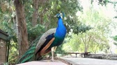 pfau : Peacock standing in the park at Los Angeles, California