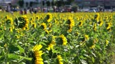 yang : Sunflower swinging under high wind at Taiwan Stock Footage