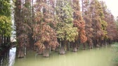 Nature landscape, Taxodium distichum in fall color around Seven-star Crags Scenic Area at Zhaoqing, China Stock Footage
