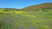 kaliforniya : 4K Video of lots of wild flower blossom at Diamond Valley Lake, California Stok Video