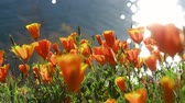 diamante : 4K Video of lots of wild flower blossom at Diamond Valley Lake, California Vídeos