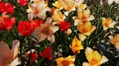 tulipe : 4K Video of  Tulips blossom at Los Angeles, California