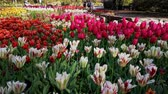 тюльпаны : Los Angeles, MAR 29:  tulips blossom  at Descanso Garden on MAR 29, 2019 at Los Angeles