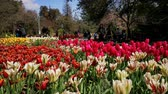 tulipe : Los Angeles, MAR 29: tulips blossom  at Descanso Garden on MAR 29, 2019 at Los Angeles