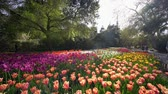 estados unidos : Los Angeles, MAR 29: tulips blossom  at Descanso Garden on MAR 29, 2019 at Los Angeles