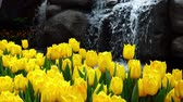 Невада : Many yellow tulips blossom with artificial waterfall behind at Las Vegas, Nevada