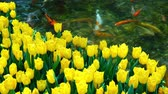 тюльпаны : Many yellow tulips blossom with artificial waterfall behind at Las Vegas, Nevada