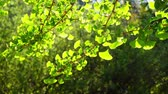 백라이트 : Close up shot of  Ginkgo biloba leaves under backlight at Los Angeles, California