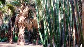 bamboo forest : Morning view of a small bamboo forest at Los Angeles, California Stock Footage