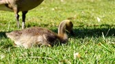 거위 : Canada Goose baby walking around in a public park at Los Angeles