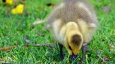 kinderen lopen : Canada Goose baby walking around in a public park at Los Angeles