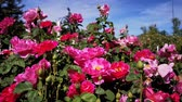 rose garden : Close up shot of  rose blossom in a garden at Los Angeles, California Stock Footage