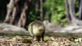 famílias : Canada Goose baby walking around in a public park at Los Angeles