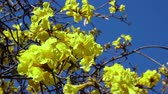 trumpet : The yellow Handroanthus chrysotrichus blossom at Los Angeles, California Stock Footage