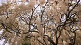 wisteria : White Wisteria blossom in Huntington Library at Los Angeles, California
