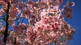 pink flower : blooming cherry blossom at outdoor