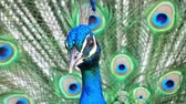 real life : Male peacock showing its color fan at Los Angeles, California Stock Footage