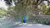 arcadia : Male peacock showing its color fan at Los Angeles, California Stock Footage