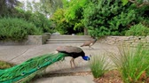 plumas : Pavo real macho caminando en Los Angeles, California