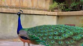 kaliforniya : Male Peacock walking around at Los Angeles, California Stok Video
