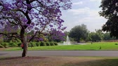 arcadia : Beautiful Jacaranda Trees blossom at Los Angeles County Arboretum & Botanic Garden