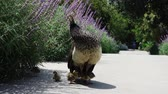 pavone : Female Peacock walking around with her babies at Los Angeles, California