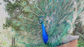 páva : Male peacock showing its color fan at Los Angeles, California Stock mozgókép