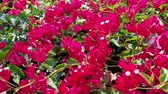 Close up of the Bougainvillea blossom at Los Angeles, California Wideo