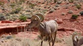 oldal : Bighorn sheep standing around Valley of Fire State Park at Nevada Stock mozgókép