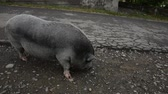 boar : A big gray pig walks down the road.