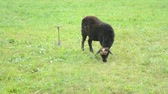 lamb : A black sheep grazes in a meadow Stock Footage