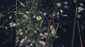 dead animal : dead mussels and fish float surface with contaminated water
