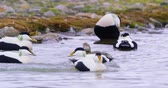 wing : Common eider mating at the arctic sea Stock Footage