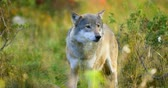 dog : Large grey wolf smells after rivals and danger in the forest