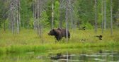 Big adult brown bear walking free in beautiful nature