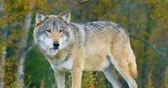 Close-up of a large male grey wolf stands in the forest Stock Footage