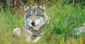Close-up of a large adult male grey wolf rests in the forest Stock Footage