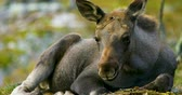 Close-up of a young moose calf on the forest floor Stock Footage