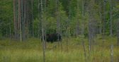 Large brown bear walking free in the dense forest