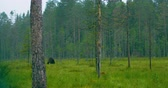 Wild adult brown bear walking in the forest while raining Stock Footage